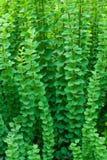 Предпосылка зеленых ветвей Стоковые Фото