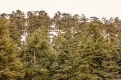 Предпосылка зеленых деревьев естественная Стоковое Изображение