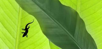 Листья банана с гекконовыми стоковые фото