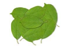Предпосылка зеленых лист вишневого дерева весны на белизне Стоковая Фотография RF