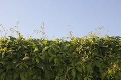Предпосылка зеленых растений и голубого неба Стоковое Фото