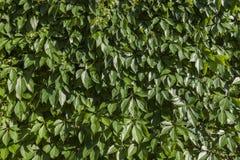Предпосылка зеленых растений Стоковое Фото