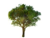 Предпосылка изолированная деревом Стоковая Фотография RF