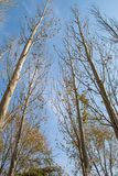предпосылка изолированная над белизной вала тополя Стоковое Фото