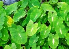 Предпосылка листвы аквариумного растени стоковое изображение