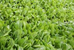 предпосылка листьев нежного свежего салата на продаже в ферме Стоковое Фото