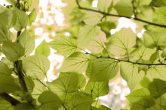 Предпосылка листьев Стоковая Фотография RF