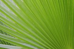 Предпосылка лист ладони зеленая Стоковая Фотография RF