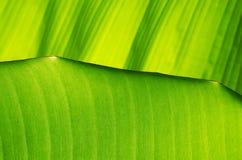 Предпосылка лист банана Стоковое Фото