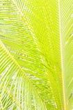 Предпосылка лист кокосовой пальмы Стоковые Изображения