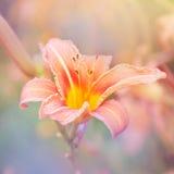 Предпосылка лилии флористическая Стоковое фото RF