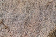 Предпосылка или текстура меха коровы Часть кожи коровы в th Стоковое Изображение