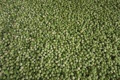 Предпосылка или текстура свежих зеленых ростков стоковое изображение