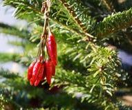 Предпосылка и перцы рождества Стоковая Фотография RF