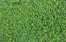 Предпосылка и текстура зеленого растения Стоковая Фотография RF