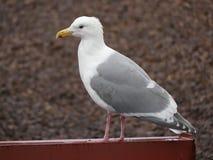 Предпосылка каменной стены чайки портрета Стоковое фото RF