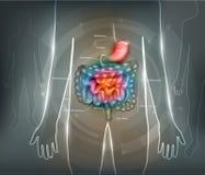 Предпосылка конспекта кишечно-желудочного тракта иллюстрация вектора
