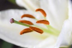 Предпосылка конца-вверх белой лилии флористическая абстрактная лепестков и sta Стоковая Фотография RF