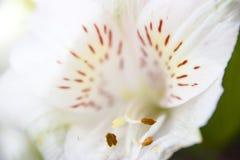 Предпосылка конца-вверх белой лилии флористическая абстрактная лепестков и sta Стоковое Изображение RF