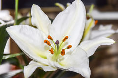 Предпосылка конца-вверх белой лилии флористическая абстрактная лепестков и sta Стоковое Изображение