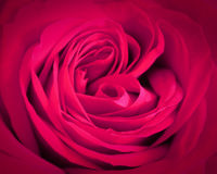 Предпосылка конца-вверх розы пинка Романтичная поздравительная открытка влюбленности Стоковое фото RF