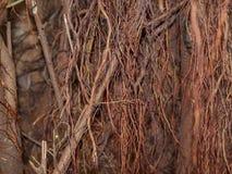Предпосылка корня дерева красотка естественная Стоковые Изображения RF