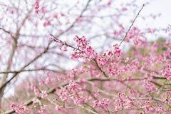 Предпосылка красивого цветка вишневого цвета или Сакуры стоковая фотография rf
