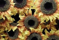Предпосылка красивых желтых искусственных цветков солнцецвета Стоковая Фотография