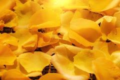Предпосылка красивых свежих желтых лепестков розы с падением воды Стоковая Фотография RF