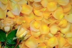 Предпосылка красивых свежих желтых лепестков розы с падением воды Стоковые Изображения RF