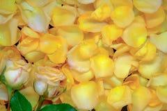 Предпосылка красивых свежих желтых лепестков розы с падением воды Стоковое Фото