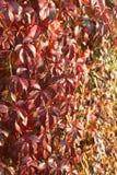 Предпосылка красных листьев Стоковые Изображения