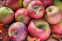 Предпосылка красных яблок с листьями осени Стоковое Фото