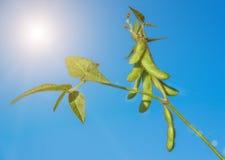 Предпосылка крупного плана стручков зеленой сои аграрная Стоковые Изображения