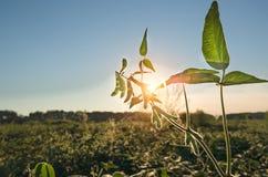 Предпосылка крупного плана стручков зеленой сои аграрная Стоковое Изображение