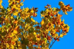 Предпосылка кленового листа осени золота, красного цвета, и agains зеленого цвета de Стоковая Фотография