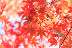 Предпосылка кленовых листов осени красная Стоковая Фотография RF