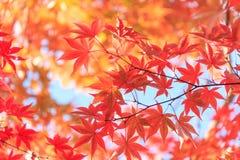 Предпосылка кленовых листов осени красная Стоковые Изображения