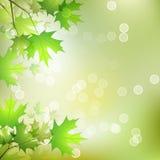 Предпосылка кленовых листов Стоковое Изображение RF