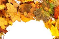Предпосылка клен-листьев осени сухая Стоковые Фото