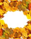 Предпосылка клен-листьев осени сухая Стоковая Фотография