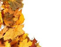 Предпосылка клен-листьев осени сухая Стоковое Фото