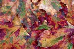 Предпосылка клен-листьев осени Стоковые Фото