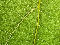 Предпосылка макроса лист виноградины Стоковое Изображение RF