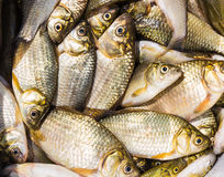 Предпосылка малых рыб уловила в реке crucian Стоковые Изображения
