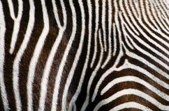 Предпосылка меха зебры Стоковые Изображения RF
