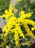 Предпосылка мимозы желтого цвета красоты цветет на заводе в марте стоковая фотография rf
