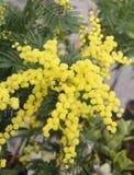 Предпосылка мимозы желтого цвета красоты цветет на заводе стоковое фото rf