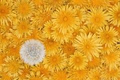 предпосылка много желтых цветков одуванчика Стоковое Изображение RF