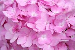Предпосылка мягких розовых цветков гортензии Стоковые Изображения RF